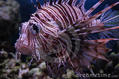 Fish (Red lionfish)