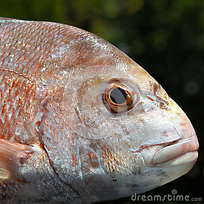 Fish: Red Snapper head close up
