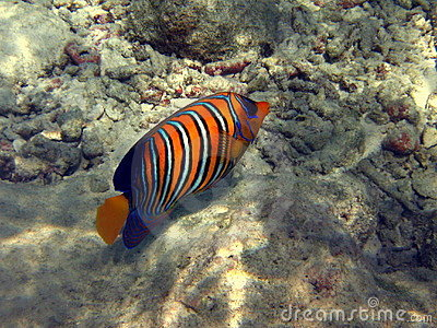 Fish : Royal Angelfish