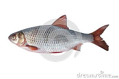 Fish rudd