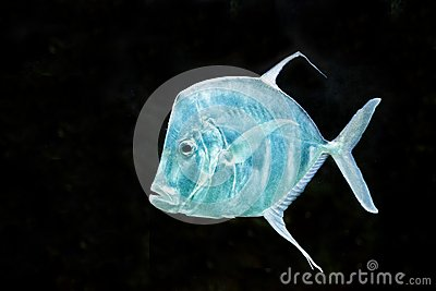 Fish silver moonfish lookdowns selene vomer royalty free for Opah fish price