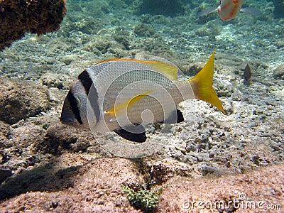 Fish : Sparus auratus
