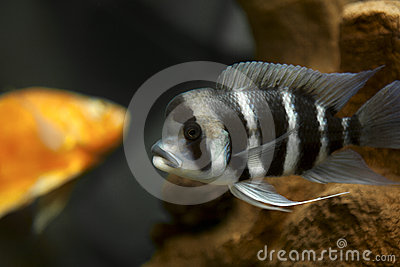 Fish with stripes in aquarium
