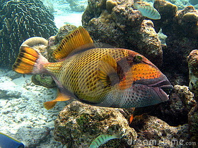 Fish : Titan Triggerfish
