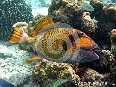 Fish : Titan Triggerfish