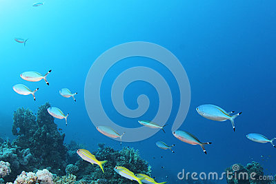 Fish on tropical coral reef