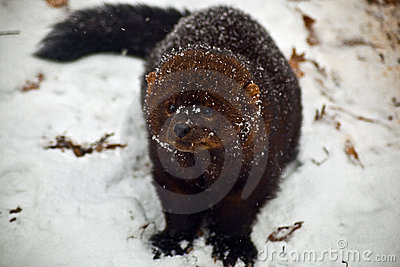 Fisher animal on snow