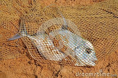 Fisher bonanza