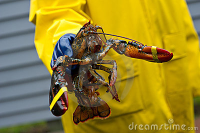 Fisherman and his freshly caught Maine lobster
