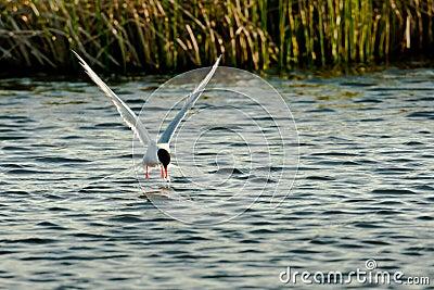 Fishing Arctic Tern