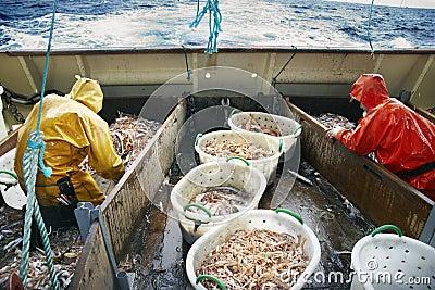 Fishing Dublin Bay prawns at sea Editorial Photo