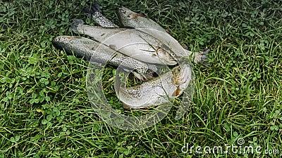 Fisk ligger på Grass arkivfilmer