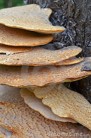 Free Fistulina Hepactica, Bracket Fungus On Tree Trunk Stock Photos - 20477413