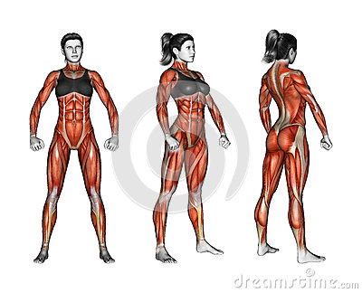 human anatomy full body muscles stock illustration - image: 48356438, Muscles