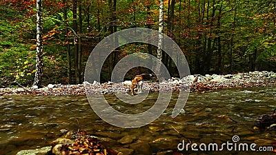 Fiume della montagna in autunno con il metraggio del cane HD del cane da lepre del cacciatore stock footage