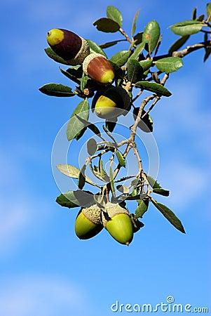 Five acorns