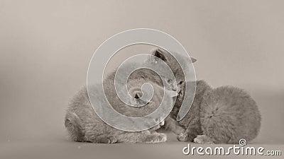 Five British Shorthair kittens playing, isolated white background. British Shorthair blue kittens, isolated portrait, white background stock video