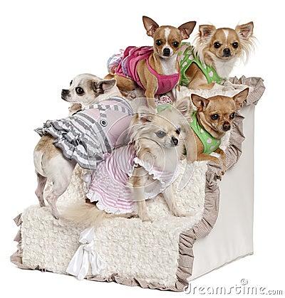 Five Chihuahuas sitting on steps