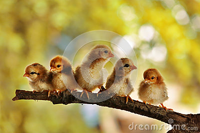 Five of cute chicks