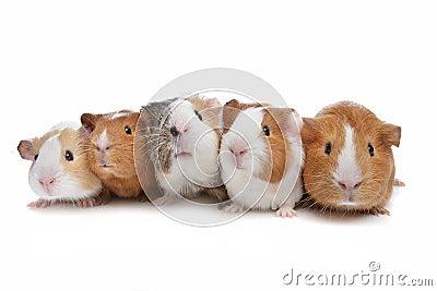 Five guinea pigs