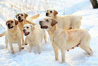 Five labradors retriever.