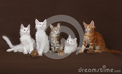 Five Maine Coon kitten