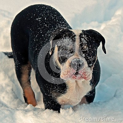 Free Five Month Puppy Of Old English Bulldog, Playing In Winter Landscape Stock Image - 140304711