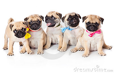 Five puppies of pug