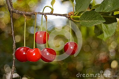 Five red cherries on a branch