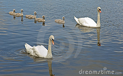 Five signets out with parent birds.