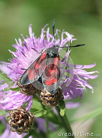 Free Five Spot Burnet Moth Royalty Free Stock Images - 2464629