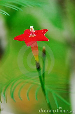 Five-star flower