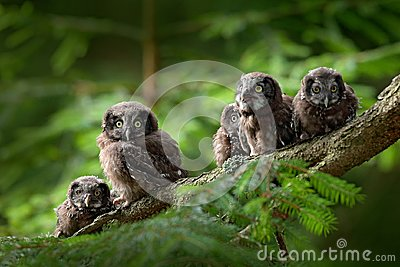 Five young owls. Small bird Boreal owl, Aegolius funereus, sitting on the tree branch in green forest background, young, baby, cub Stock Photo