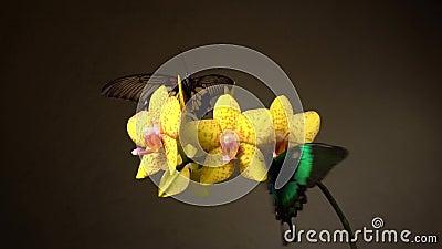 Fjärilar på en blomma lager videofilmer