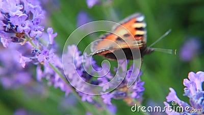 fjärilen blommar lavendel