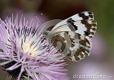 Fjärilswhite