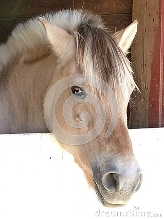 Free Fjord Pony With A Friendly Face Stock Image - 119113901