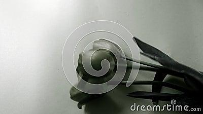 Flaches gelegtes Monochrom, Hintergrund und gemalte Tulpen Kunstentwurf und Nachbearbeiten, Schwarzweiss-Effekt stock footage