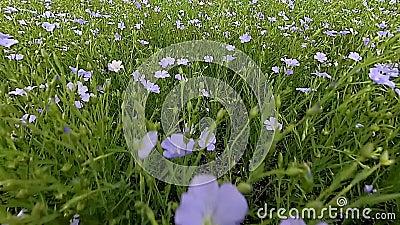 Flachsblumen, die auf Wind beeinflussen stock footage