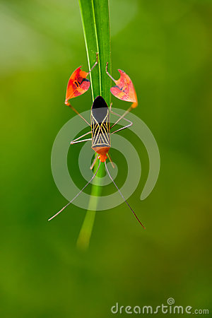Flag Footed Bug