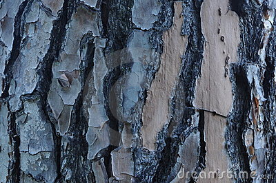 Flaking Bark on Pine Tree