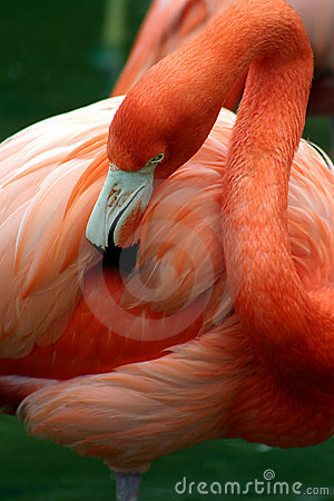 Flamant rose se toilettant