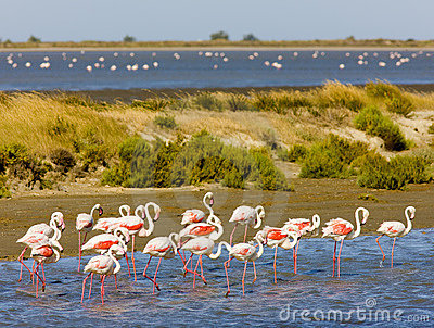 Flamants de camargue