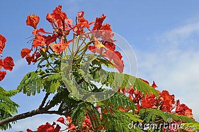 Flamboyant tree blooming
