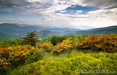 Flame Azalea Blooms Blue Ridge Mountains