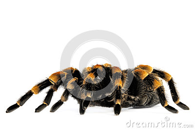 Flame Knee Tarantula