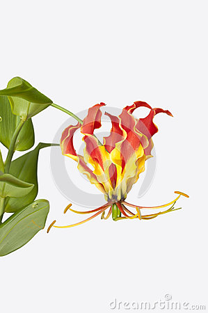 Flame Lily Royalty Free Stock Photography - Image: 38203427
