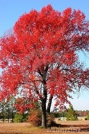 Flame Red Tree