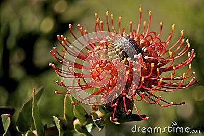 Flame Spike Leucospermum cordifolium