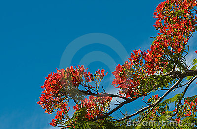 Flame tree flowers